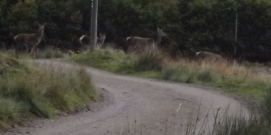 deer passing by house